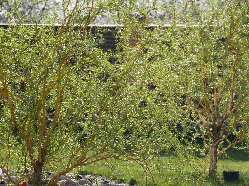 Ива Матсудана сорт Эритрофлексуоза . Природный сборщик пыли. Обухов - изображение 1