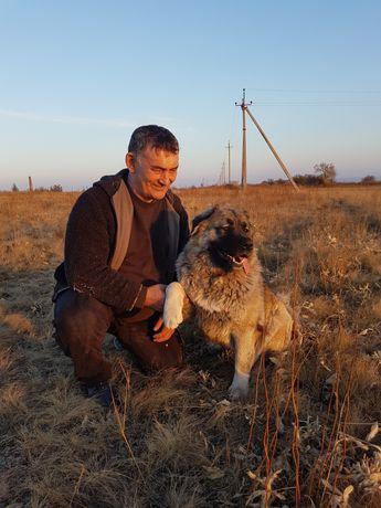 Кавказская овчарка ищет кобеля для вязки