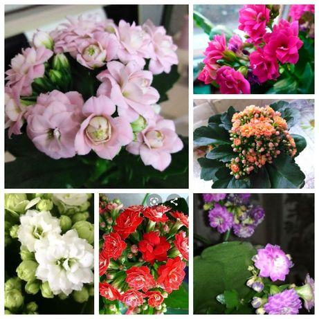 Каланхое 7 цветов