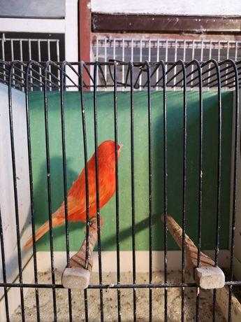 Kanarki samice czerwone