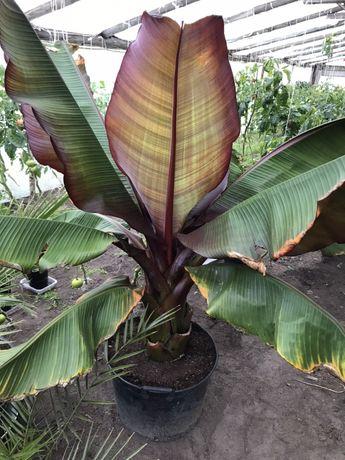 Bananowiec Ensete Maurelli