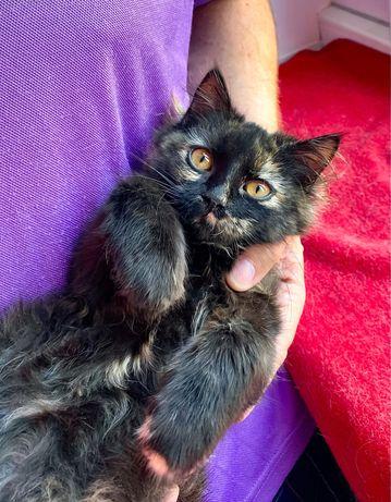 Котенок , черепаховая кошечка бесплатно