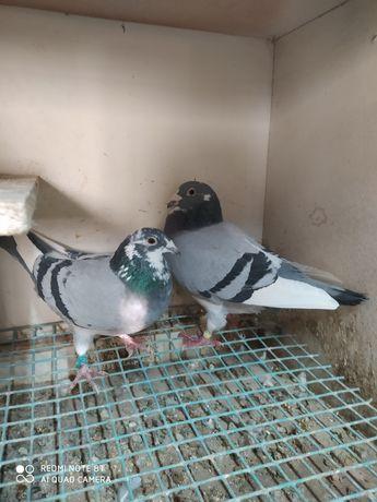 Sprzedam gołębie pocztowe.