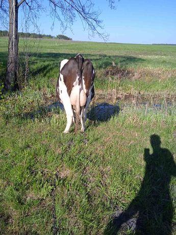 Продам розтелену корову Голштин