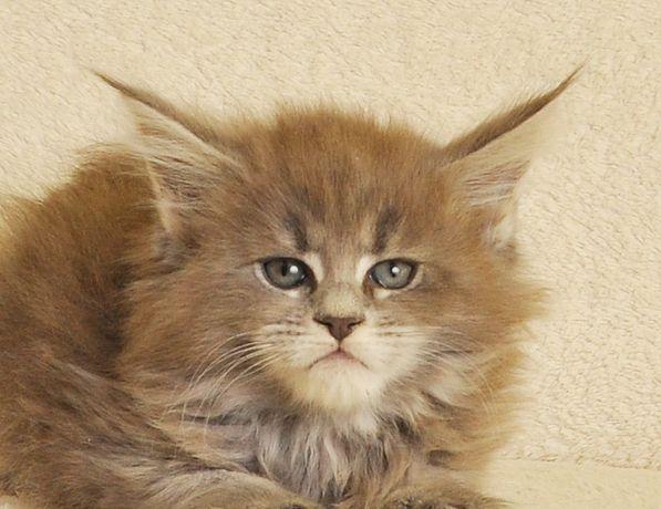 Śliczna niebieska koteczka po World Championie