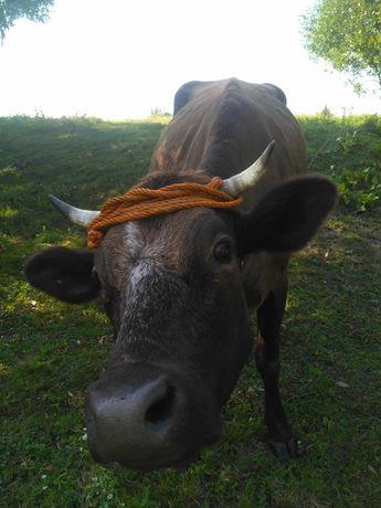 Молоко коров'яче екологічно чисте! Романів. Житом. обл. Недорого