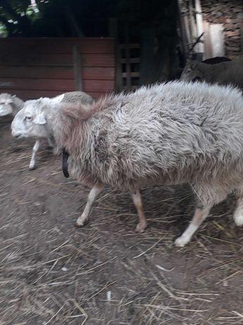 Vendo carneiro reprodutor com 5 anos motivo troca de sangue
