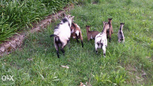 Cabras e cabritos anãs