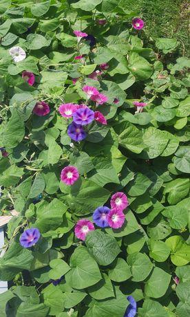 Nasiona kwiatków Wilec