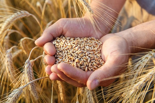 Пшеница (ячмень,кукуруза,отруби,макуха комбикорм). Доставка от 300 кг.
