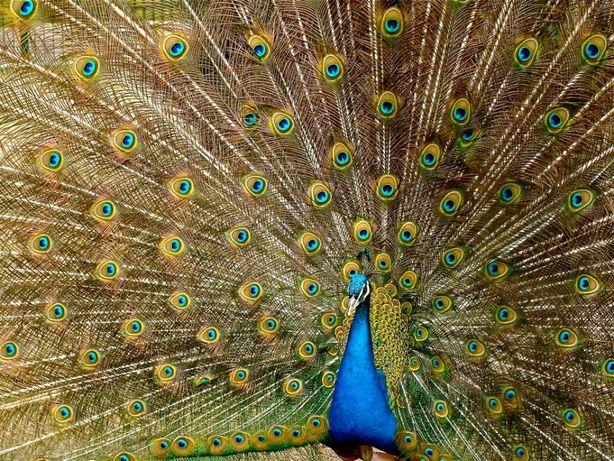 перо индийского павлина