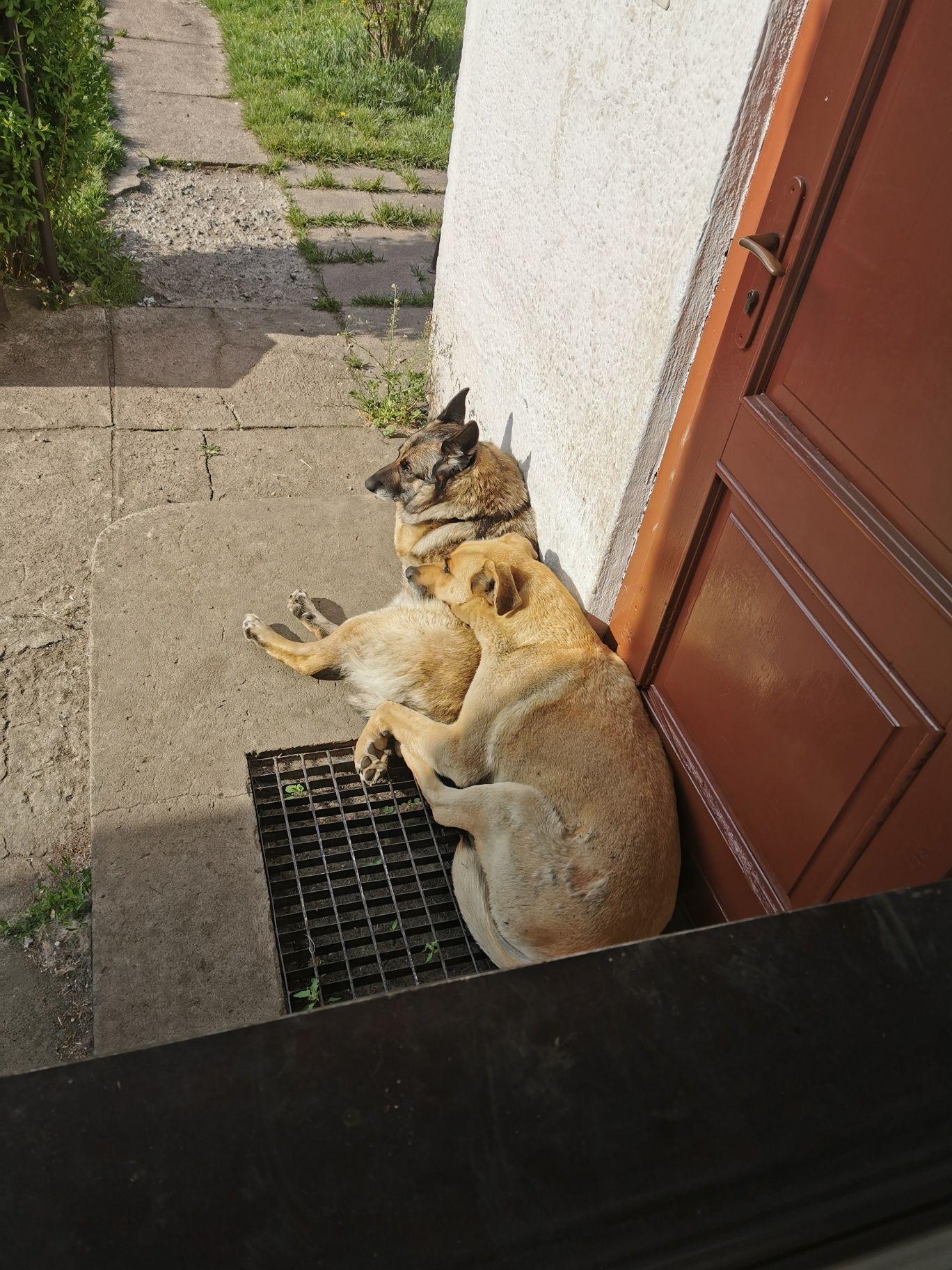 Oddam 2 psy (mieszany owczarek belgijski oraz mieszany dog/rhodesian