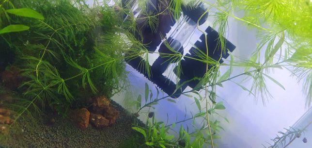 Planta aquário Fox tail