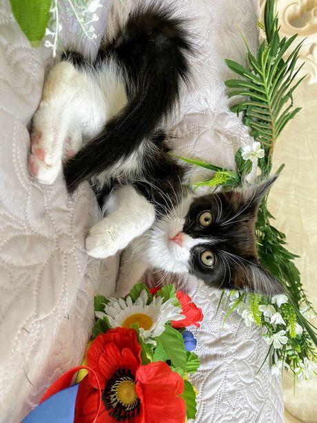 Кошечка милого черно-белого окраса с покладистым характером!