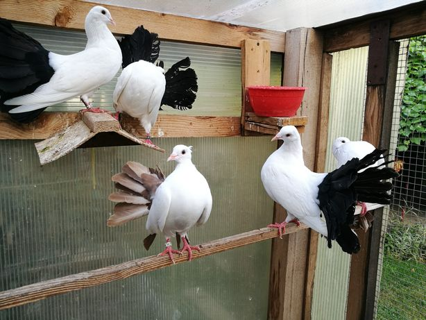 Gołębie pawiki ozdobne,silki,przepiórki,cukrówki,