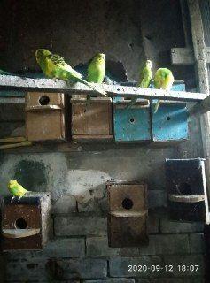 """Продам попугаев """"Волнистые"""""""