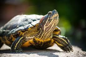Красноухая ручная черепаха