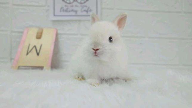 Mini coelhos anões hôlandes e mini toy vacinados, KIT Completo