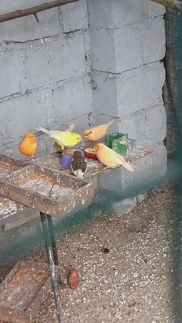 Kanarki samce    2 szt