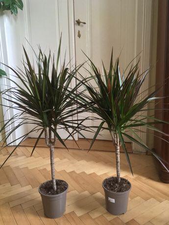Вазон пальма Драцена
