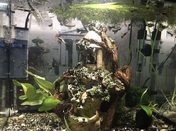 Аквариумные рыбки Гупи от 3грн/шт.