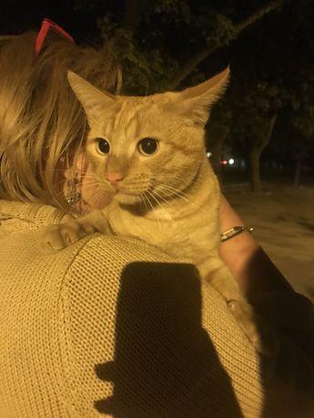 Найден рыжий кот