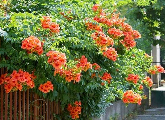 Квітка, цветок Кампссис