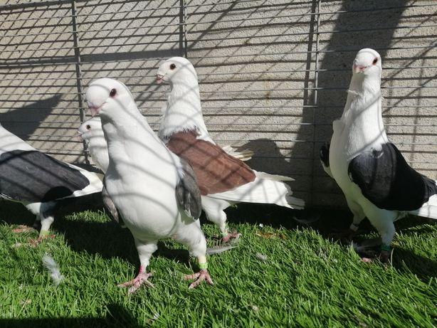 Gołębie. Mewki Antwerpskie. Mewka