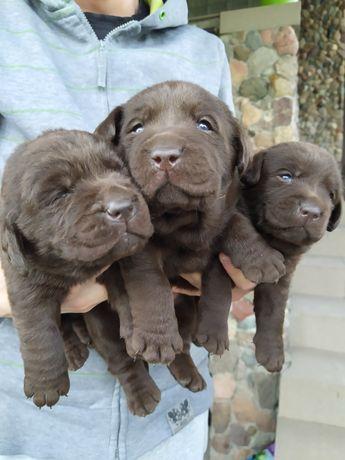 Labradory czekoladowe