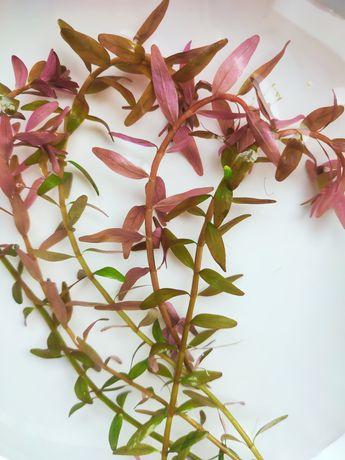 Аквариумное растение Ротала Колората