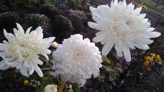хризантема более 15 видов