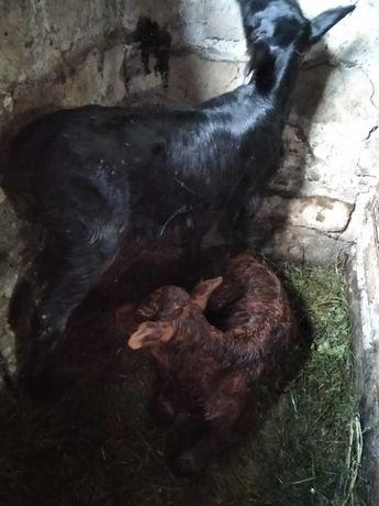 телята продам недельных телочек коровы