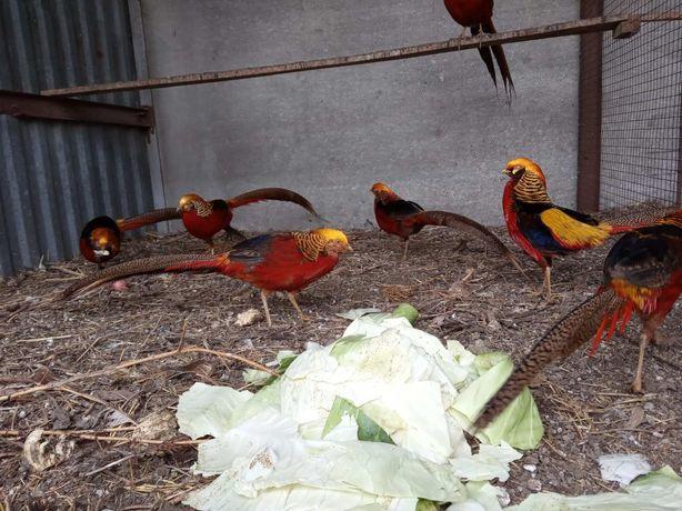 Продам золотых фазанов