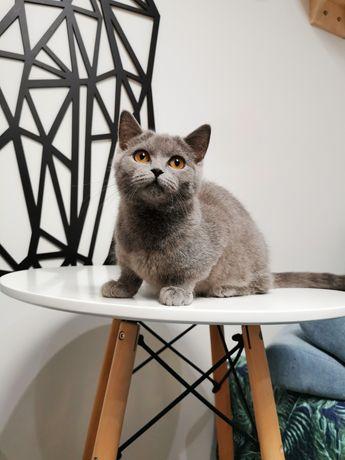 Kot Brytyjski kotka niebieska Cori Blue Marina * PL gotowa do odbioru