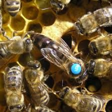 Матки Карника (бджоломатки Carnica) (2021)