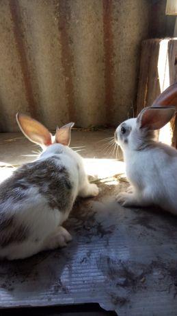 Кролики на розвод