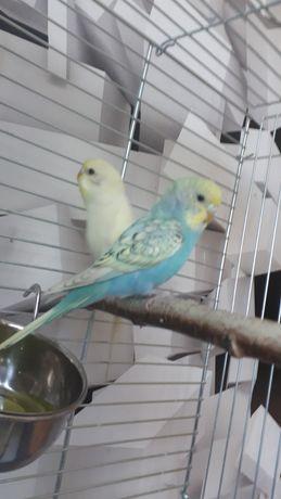 Papugi faliste zamienię