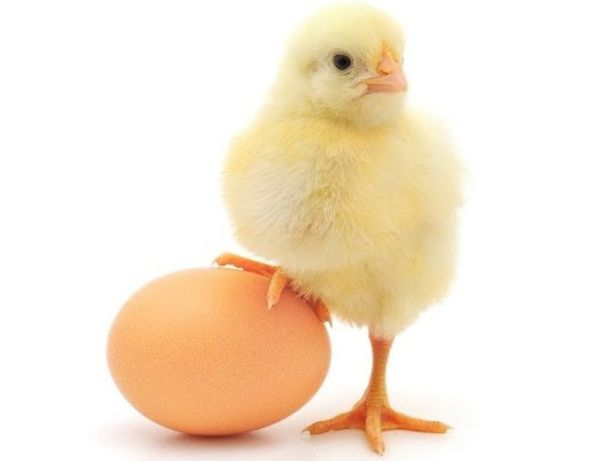 Курчата,цыплята бройлер суточный