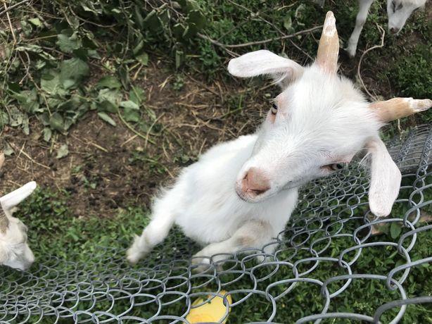 Продам коз молочных