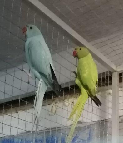 Zaginęła papuga aleksandretta zielona nagroda 1 tys