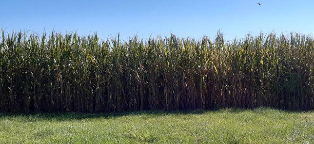 Kukurydza na pniu