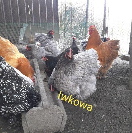 Kochin olbrzymi jaja lęgowe