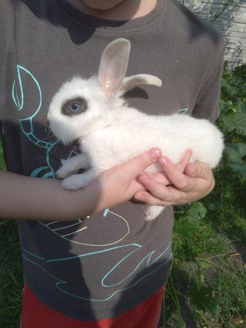 Sprzedam króliki miniaturki.