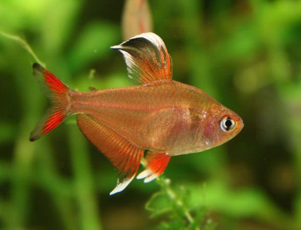 BYSTRZYK OZDOBNY,ORNATUS - Hyphessobrycon bentosi ryby akwariowe.