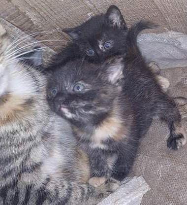 Oddam trzy kotki