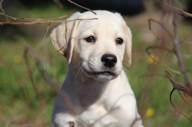 Cachorro Labrador Com Lop