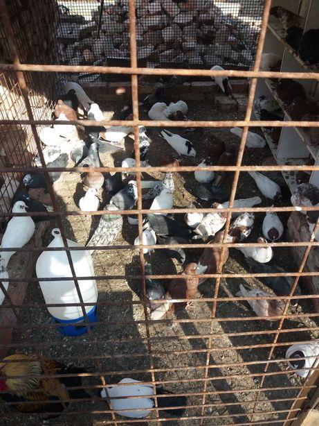 голуби на продажу разные