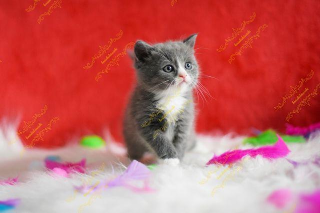 Śliczny kotek Brytyjski !