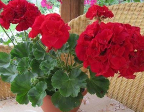 Крупноцветковая пеларгония, пышные взрослые кусты