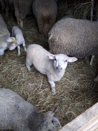 Owce Jagnieta. Zadbane! Tanio !